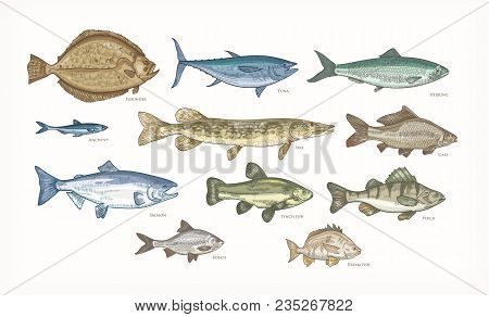 Set Of Elegant Drawings Of Fish Isolated On White Background. Bundle Of Underwater Animals Or Creatu