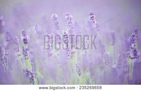 Beautiful Soft Flowering Lavender - Soft Light, Very Low Depth Of Field.