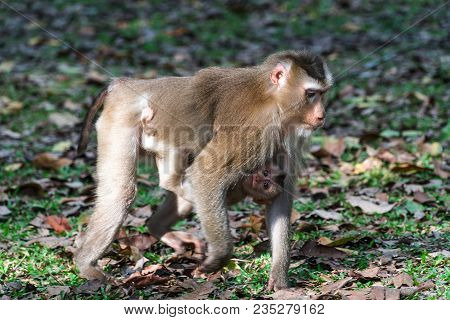 Northern Pig-tailed Young Macaque With Baby At Khao Yai National Park, Thailand.