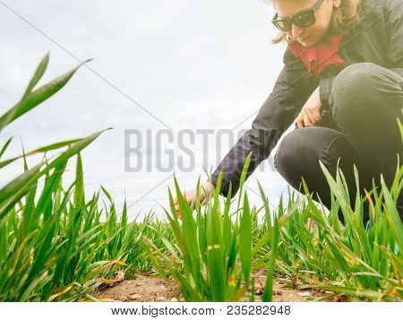 Female Agronomist Biologist Inspecting The Wheat Plant Harvest On A Warm Spring Day With Beautiful F
