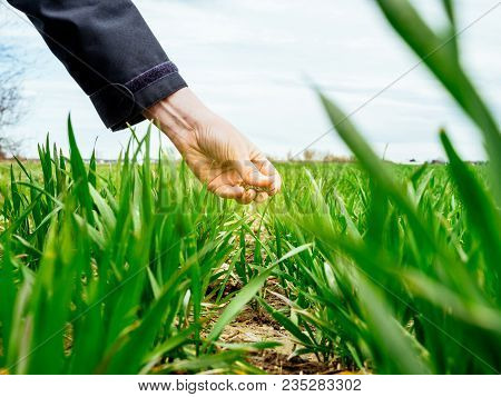 Hand Of Agronomist Agriculture Woman Biologist Inspecting The Soil For The Wheat Plant Harvest On A