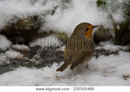 A European Robin Looking Over Its Sholuder While Standing In The Snow. Also Known As Robin Or Robin