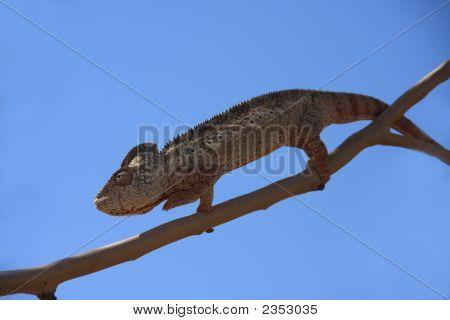 Panther, Chameleon,