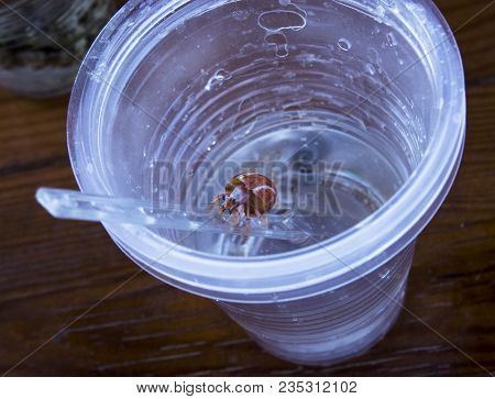 Hermit Crab Comes Out Of A Plastic Cup