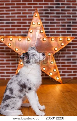 Australian Shepherd Aussie , 3 Months Old, Sitting Against Decorative Wooden Star With Old Lamps On