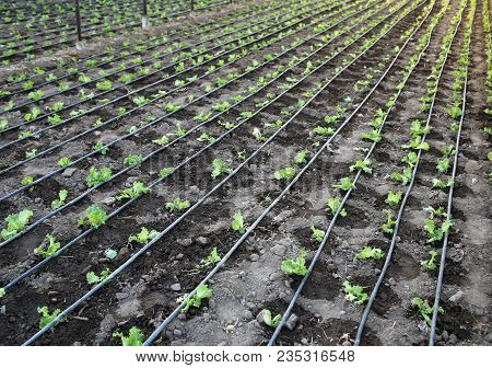 Salad Lettuce Field With Irrigation System. Landscape View Of Rows Of Freshly Growing Salad Field. S