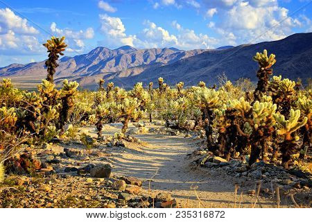 Cholla Cactus Garden With Hiking Trail, Near Sunset, Joshua Tree National Park, California, Usa