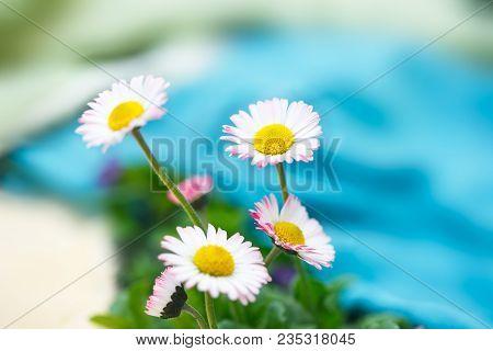 Romantic Wild Flowers, Daisies With Focus On One Flower. Oxeye Daisy, Leucanthemum Vulgare, Daisies,