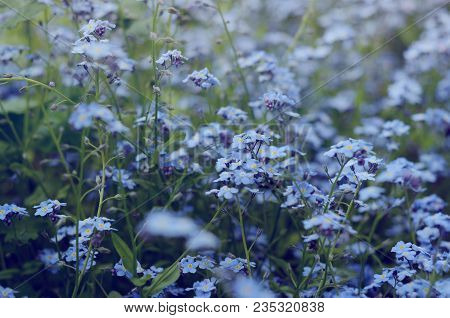 Wild Meadow Of Beautiful Blue Flowers Forget-me-not. Summertime Hipster Season Background.