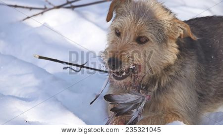 Close Up Close Up Problem Of Stray Dirty Stray Dog Eating Pigeon Bird. Bird Dogs Winter Lies On Grou