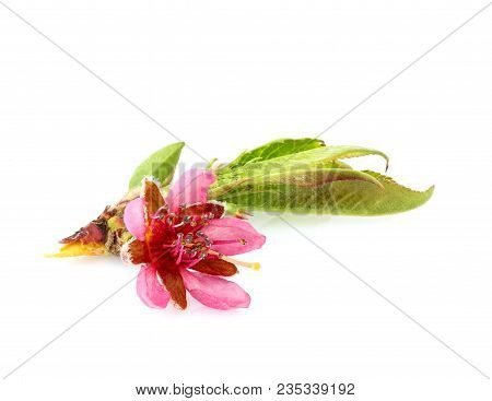 Peach Flower. Wild Peach Flower With Leaves. Isolated On White Background.