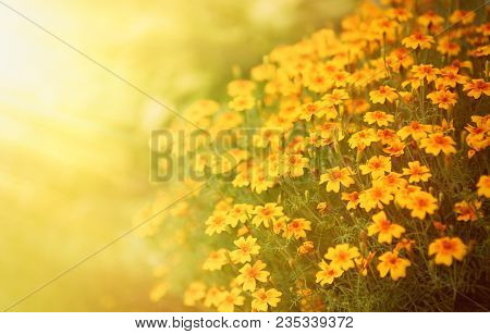 Blurred Autumn Background With Growing Tagetes Tenuifolia Flowers. Sunny Day. Beautiful Natural Flor