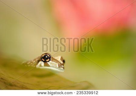Mission Golden-eyed Tree Frog. Natural Background Photo. Frog On Leaf.