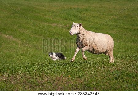 Stock Dog And One Leaping Sheep (ovis Aries) - At Sheep Dog Herding Trials