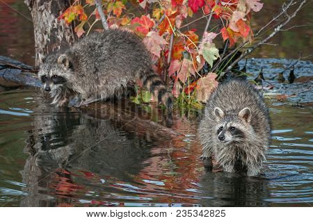 Raccoons (procyon Lotor) Look Out From Log In Water - Captive Animals