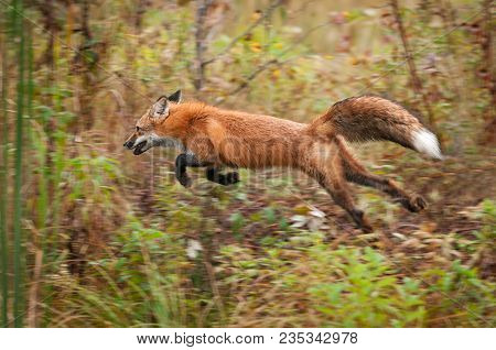 Red Fox (vulpes Vulpes) Bounds Through Weeds - Captive Animal