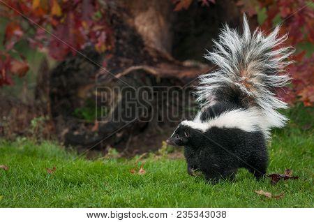 Striped Skunk (mephitis Mephitis) Walks Left - Captive Animal
