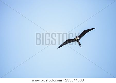 Female magnificent frigatebird Fregata magnificens flies high above Clam Pass in Naples, Florida poster
