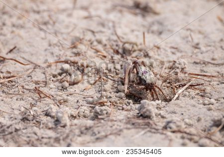 Fiddler Crab Uca Panacea Comes Out Of Its Burrow