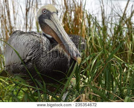 Angled Brown Pelican Sitting In Marsh Grass