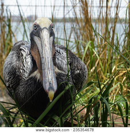 Brown Pelican Sitting In Green Marsh Grass