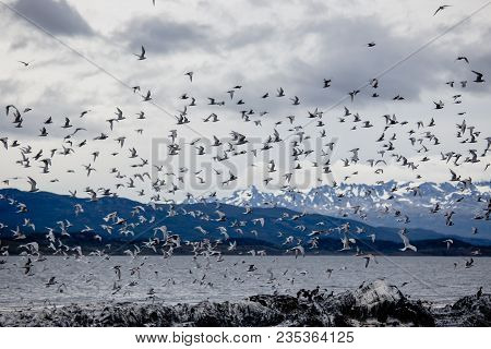 Cormorant And Seagull Colony On An Island At Ushuaia In The Beagle Strait, Tierra Del Fuego, Argenti
