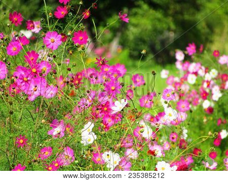 Purple, Pink, Red, Cosmos Flowers In Garden On Green Background In Party Style. Close Up Pink Cosmos