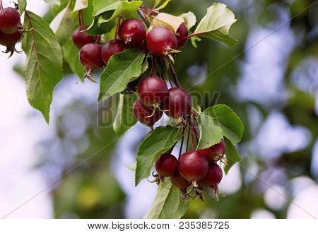 Red Apples Tree Branch. Fresh Organic Apples Tree Branch In The Orchard. Harvest Season Concept With