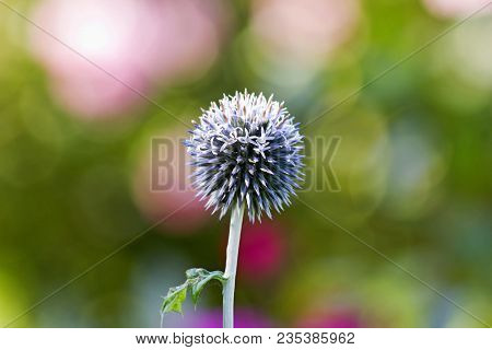 Globe Thistle Its Spiky Head Flower (echinops Banaticus). Colorful Spiky Head Flower Of Globe Thistl