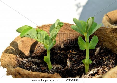 Sprouted Peas In Organic Soil And Peat Pot. Germinated Pea Green Sprouts. Pea Sprouts Seedling Emerg