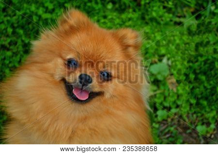 Smile Of Dog Pomeranian Spitz. Portrait Pomeranian Smiling Dog. Cute Fluffy Pomeranian Dog With Smil