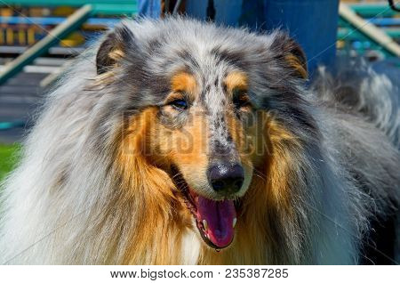 Collie Dog. Portrait Of Rough Collie Dog In Sport Stadion. The Collie Is A Distinctive Type Of Herdi
