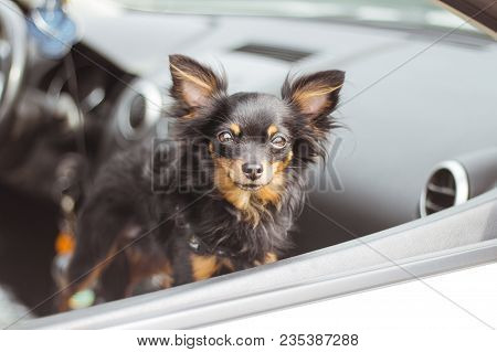 Dog In Car Window. Funny Chihuahua Dog Looks Out Of A Car Window. Tiny Dog On Seat In Car. Dog With