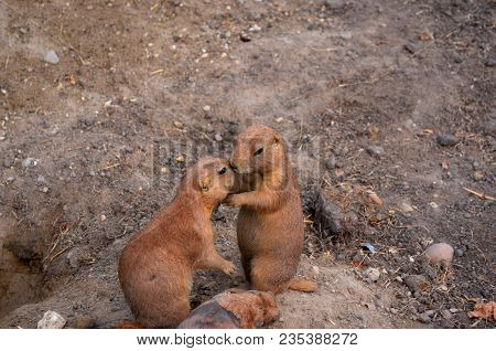 Couple Of Ground Squirrels Or Gophers On Soil Background. Two Ground Squirrel In Its Natural Habitat
