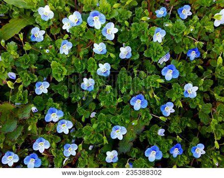 Background Little Blue Flowers Plant Patern. Sky Blue Little Flowers Background. Blue Little Flowers