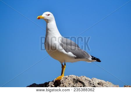 Seagull Running On The Sea Shore. Close Up View Of White Bird Seagull Walking By The Beach. Wild Sea