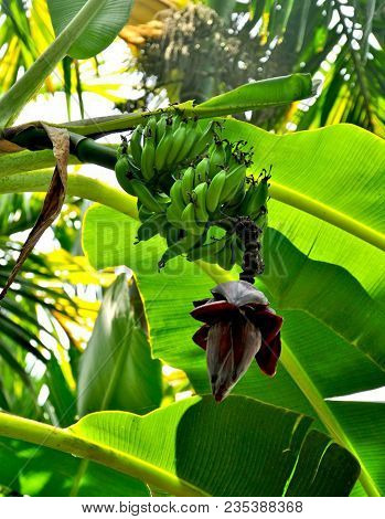 Banana tree with bunch of growing green bananas and flower. Plantation of banana trees or rain-forest background. Bunch of unripe bananas on tree. Agricultural banana plantation at Madeira island. poster
