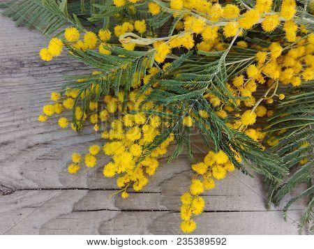 Mimosa (silver Wattle) Branch On Wooden Background. Mimosa Spring Flowers Tree Branch On Wooden Tabl