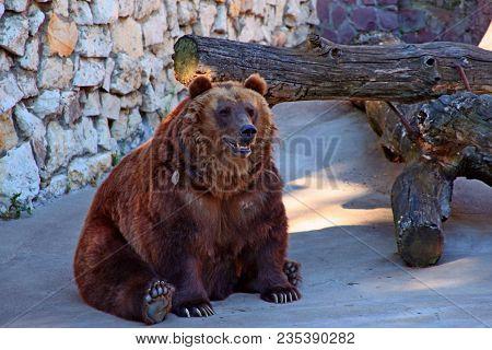 Brown Bear Sits In Zoo. Brown Bear Sitting On Concrete Floor Against Wood Stump. Big Brown Bear (urs