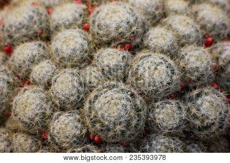 Succulent Aloe Cactus Plant Pattern Background. Succulent Circle Texture. Close Up Cactus In Flower