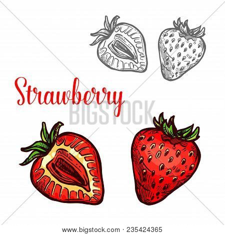 Strawberry Fruit Isolated Sketch Of Garden Or Wild Forest Berry. Whole And Half Of Ripe Red Strawber