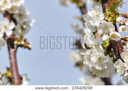 Bee On White Blooms Of Cherry Tree.