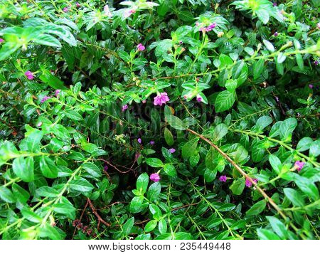 Texture Of Small Leafy Plants With Purple Flowers