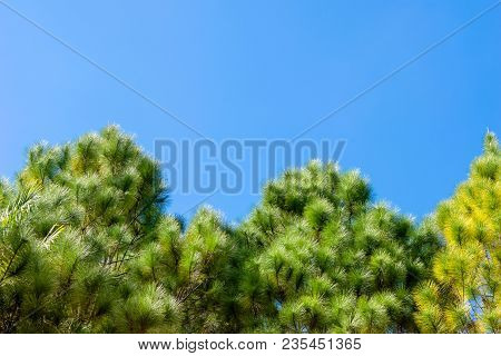 Treetop  Of Pinus Merkusii Tree In Blue Sky Background With Sunlight. Copy Space For Graphic Designe