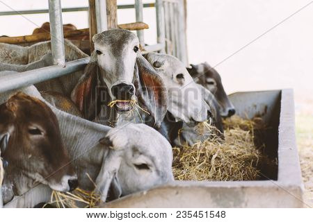 Cows Are Eating Rice Straw In A Cowshed, Livestock