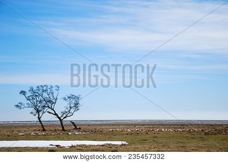 Windblown Trees By The Coast Of The Swedish Island Oland In The Baltic Sea