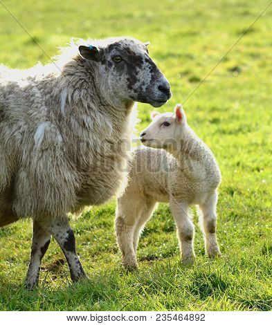 Ewe,  A Mother Sheep, With Its Newborn Lamb