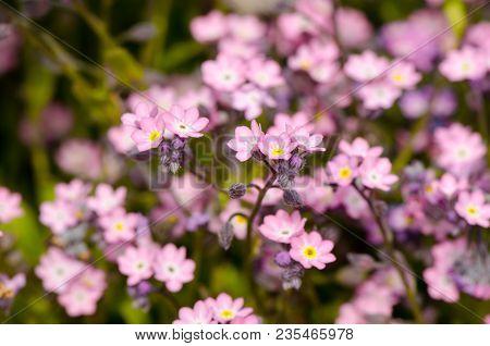 Pink Spring Flowers Closeup, Forget-me-not, Spring Flowering