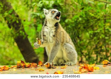 A Ringtail Lemur Of Madagascar. Lemur Catta Species Eating Fruits In The Forest.