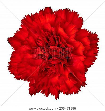 Red Carnation Flower Isolated On White Background. Close-up.  Element Of Design.